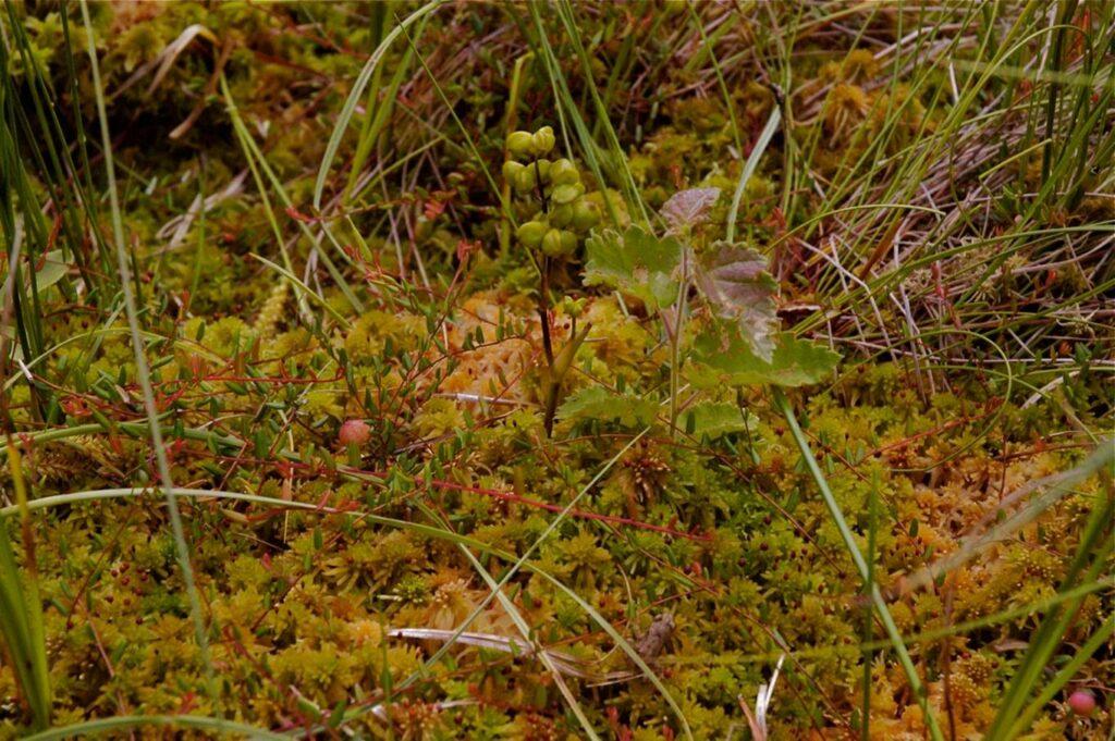 Blumenbinse sowie Moosbeere, Quelle: Succow Stiftung